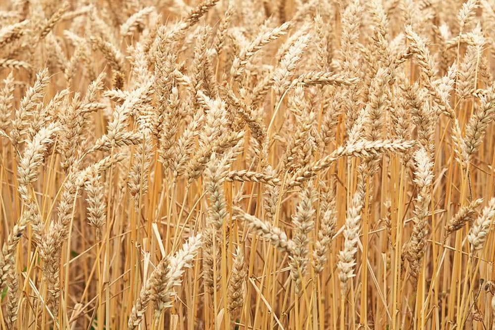 Cereal drying plants manufacturers